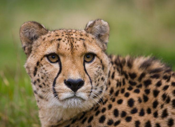 Haiku – Cheetah