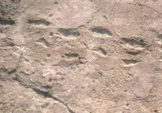 La famosas huellas de Laetoli, que permitieron demostrar que los hominidos de hace 3,5 millones de anos caminaban en dos pies, fueron descubiertas por accidente, cuando Andrew Hill y David Western se arrojaban caca de elefante seca el uno al otro. Western le ensarto un gran trozo a Hill, quien cayo al suelo. Estando de cara al piso, Hill descubrio las huellas.