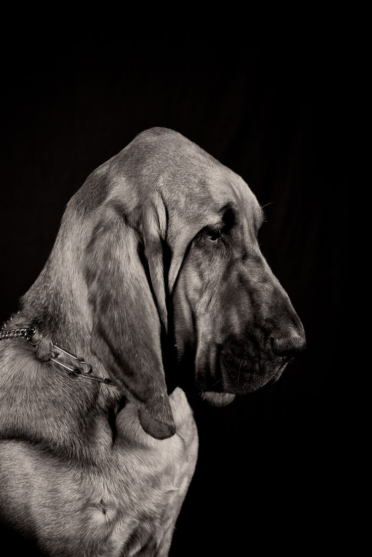Bloodhound! This is such an elegant picture. Yes, true...