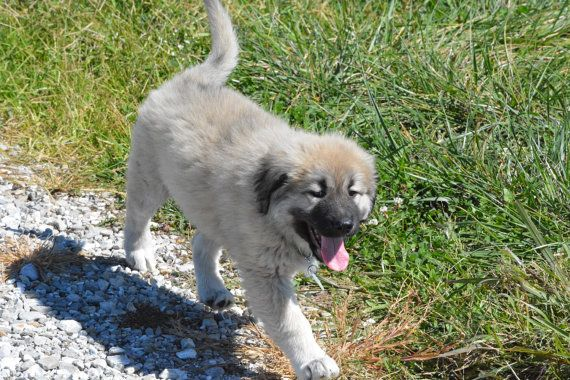 best 25  caucasian shepherd puppy ideas on pinterest