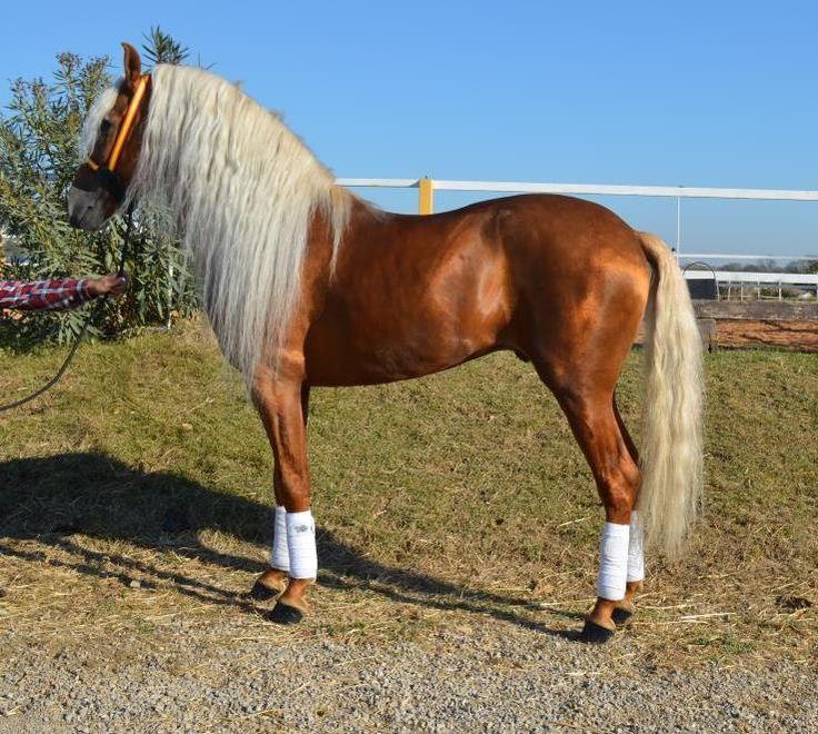 vente de chevaux iberique montpellier