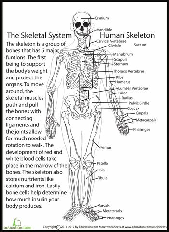 Printables Bones Of The Body Worksheet 1000 images about skeletal system on pinterest charts human body and radiology