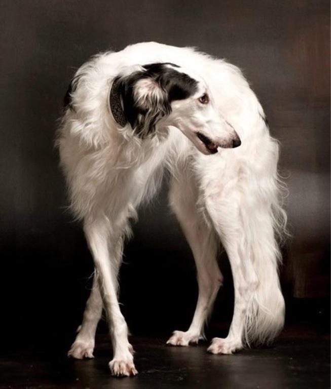 Big Dog Russian Wolf Hound
