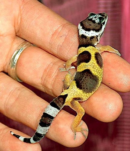 ALL ABOUT BEARDED DRAGONS AND GECKOS !!!!!!!!!!!: What to buy when shopping for a gecko !!!!!!!