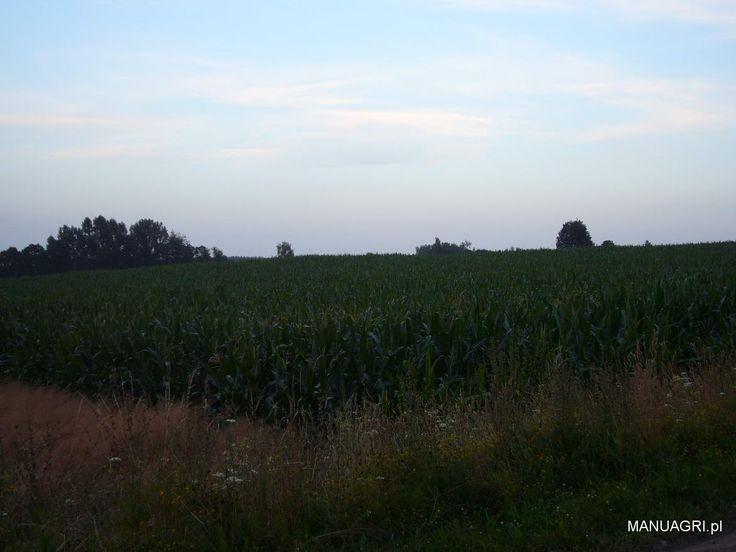 Lipcowe pole kukurydzy - http://wp.me/p6aAA2-eR