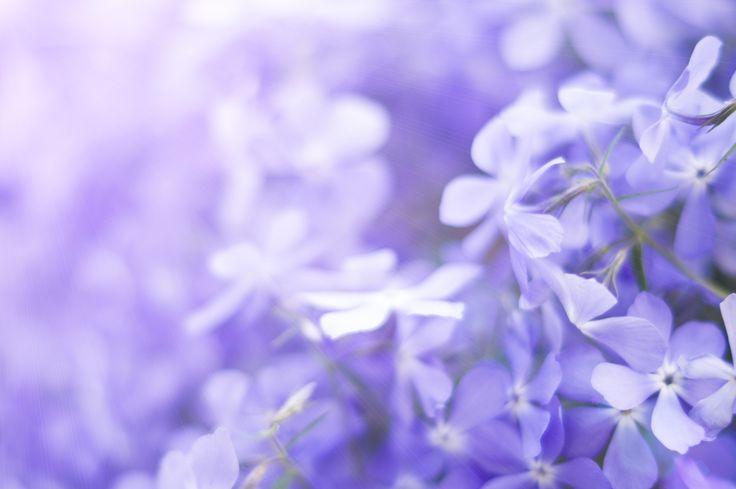 фото, цветы, сиреневый фон, flower