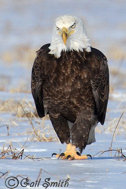 3092 Best American Bald Eagles Images On Pinterest Bald Eagles