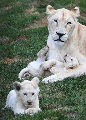 【7月19日 AFP】チェコのドボルツェ(Dvorec)村にある動物園で飼育されるホワイトライオンの親子。