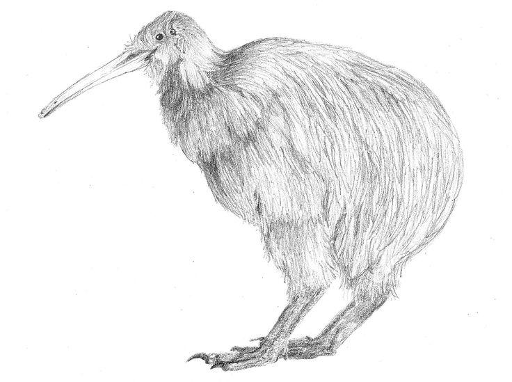 North Island Brown Kiwi, Aperyx mantelli