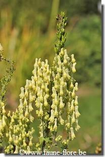 Aconitum vulparia / aconit tue-loup