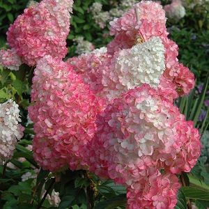Pinky Winky and Vanilla Strawberry are varieties that keep a white top to the cone as the bottom turns pink.  Pinky Winky has more open blooms, while Vanilla Strawberry is fuller and reminiscent of a strawberry sundae.  Both grow to about 6 to 7 ft.
