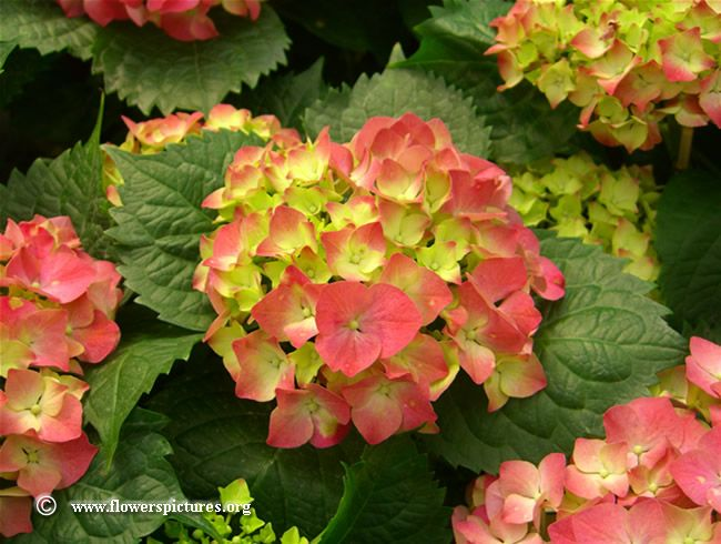 Pink Hydrangea   Pink hydrangea flower, Click here to view full-size photo (800x600 ...