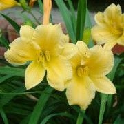 Hemerocallis 'Stella de Oro'. Suitable for Living Wall Wildlife Loving Plant. Click image to get care advice.   Other names: Day lily 'Stella de Oro'    Genus: Hemerocallis    Variety or cultivar: 'Stella de Oro' _ 'Stella de Oro' is a vigorous, herbaceous perennial. It is a dwarf day lily with mid-green, strap-shaped leaves. It is free-flowering, producing golden-yellow, fragrant, funnel-shaped flowers, each lasting a day, throughout summer.
