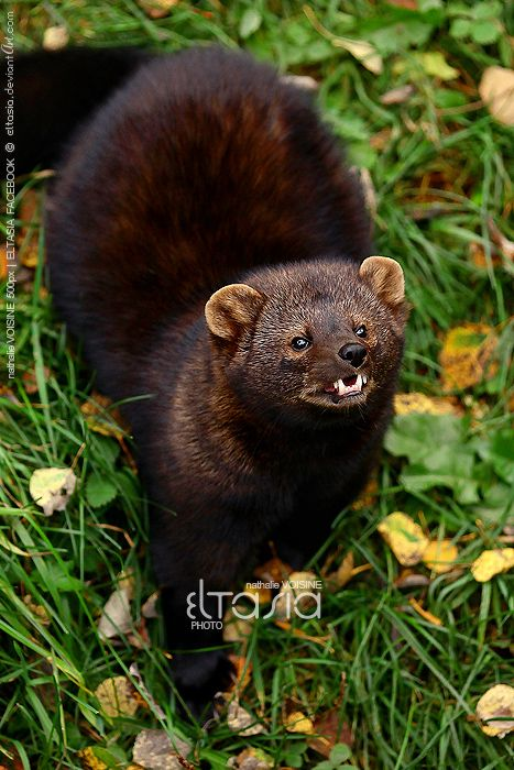 Fisher (Martes pennanti) ... member of the weasel family ...  by *Eltasia on deviantART