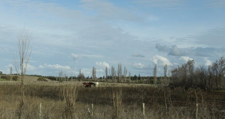#carlotaphotographer #carlotafernandez #carlotafernandezfotografia #fotografia #osorno #santiago #chile #lovely #caballos #chevales #horses #sky #bluesky #prairie #fields #nuages #nubes #clouds #cumulos #day #forecast #ocre #glory #glorious