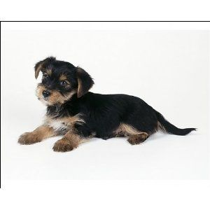 Yorkshire Terrier X Jack Russell Yorkshire terrier