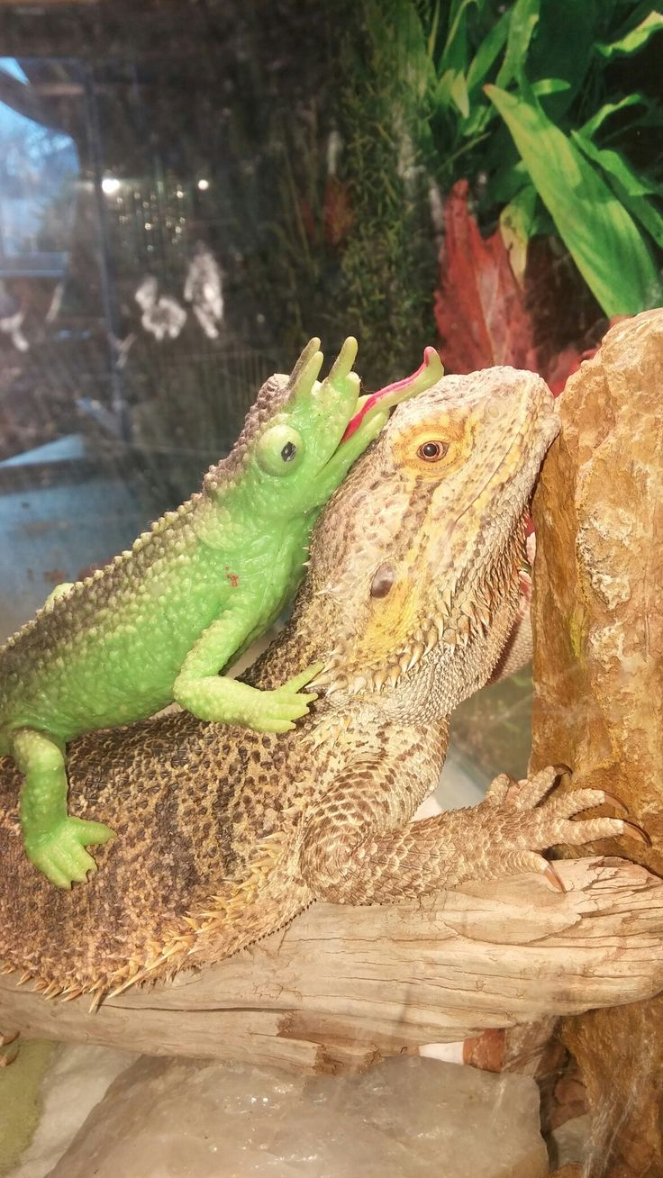60 best bearded dragon images on pinterest reptiles amphibians