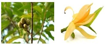 Champaka known as Champa in Hindi and Sanskrit is famous for its fragrance. The tree is known as known as the Joy perfume tree or yellow jade orchid tree in English.