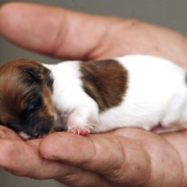 Smallest, cutest dog in the world?? I think so!! | Cuteness