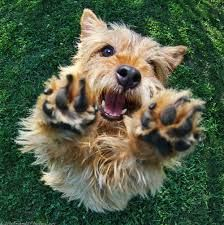 norwich terrier - Google Search