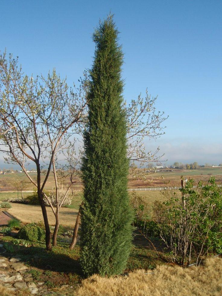Juniperus scopulorum 'Woodward', Woodward columnar juniper