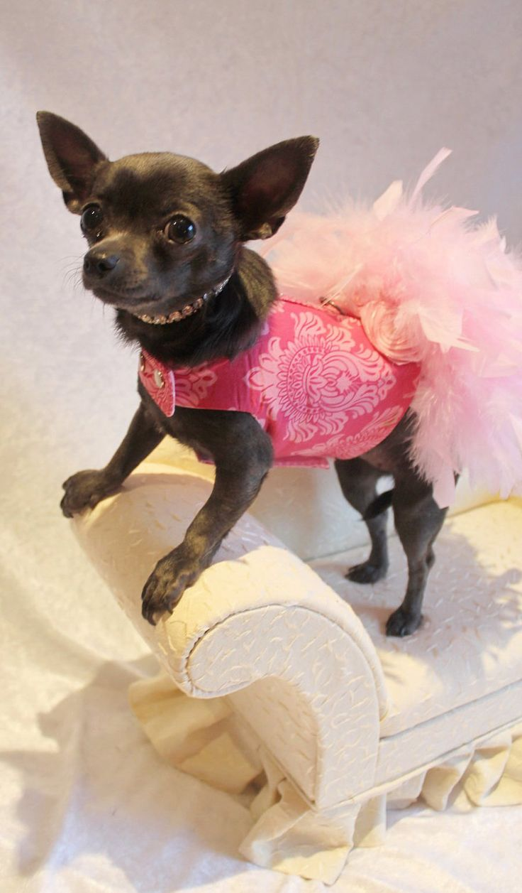 1000 images about chihuahuas on pinterest cartoon devil and blue - Pink Floral Feather Harness Dog Dress