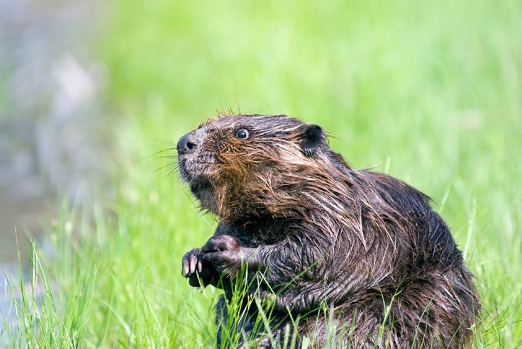 Learn about the North American beavers: where do they live, what do they eat and more. Here are some North American beaver facts to help you.