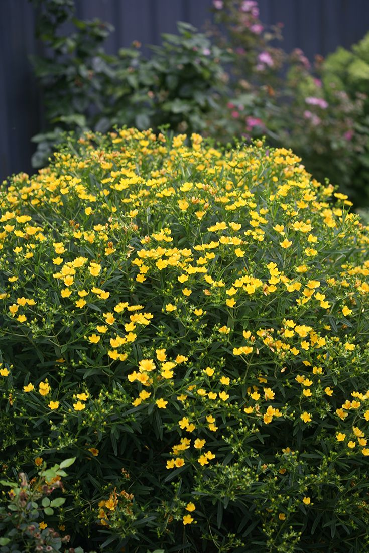 41 best images about native plants on pinterest virginia for Garden trees with yellow flowers