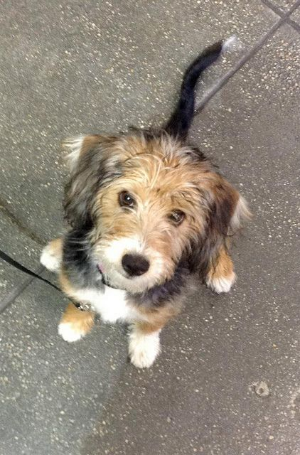 Muffin (Terrier Poodle Mix) at Puppy Class. Andrea Arden Dog Training Puppy Class at the New York Dog Spa & Hotel.