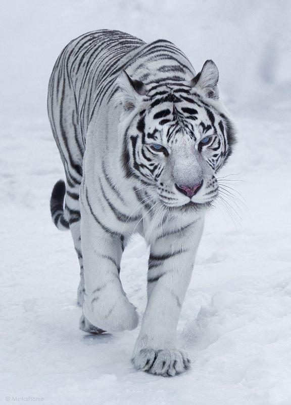 Snow Bengal Tiger | The Wild | Pinterest