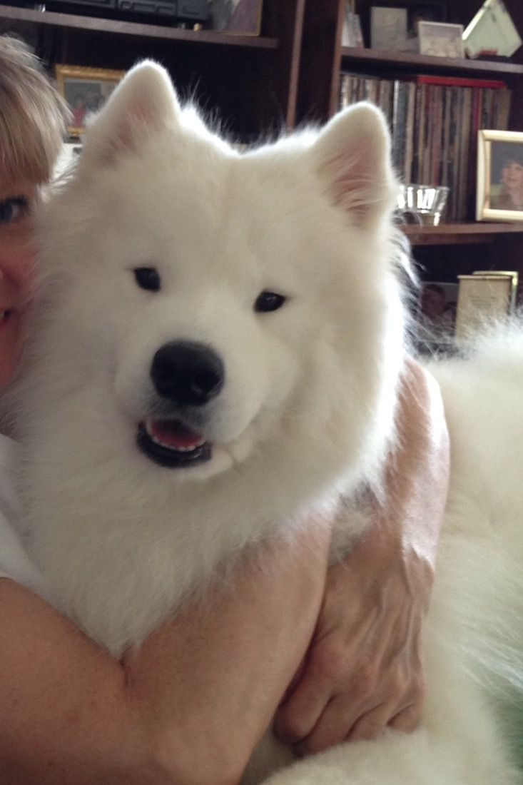 My Sweet Aspen Samoyed Puppy White Dogs Dog Breeds