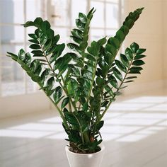 Zamioculca - Essa planta é resistente e continua bonita mesmo quando você esquece de cuidar dela. O ideal é que você regue uma vez por semana e fique atento ao sol, que não faz bem para o seu crescimento. Recomenda-se colocar sua planta à meia-sombra ou em ambientes com pouca luz. O sol direto não faz bem para seu crescimento, então recomenda-se colocá-la à meio-sombra ou em ambientes sem luz. Importante: todas as partes da planta são venenosas se ingeridas.