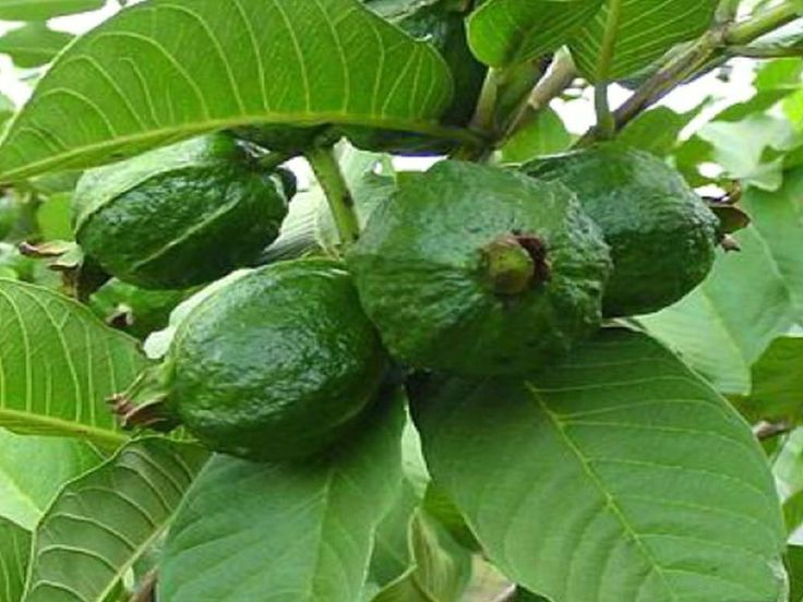 Guava is a tropical fruit that has a wide range of health benefits. Most people focus on the fruit, but the leaves deserve the same attention because of their medicinal properties. They have several uses, particularly in fighting infections caused by bacteria. Diarrhea If you have loose, watery stools, accompanied by abdominal pain or even…