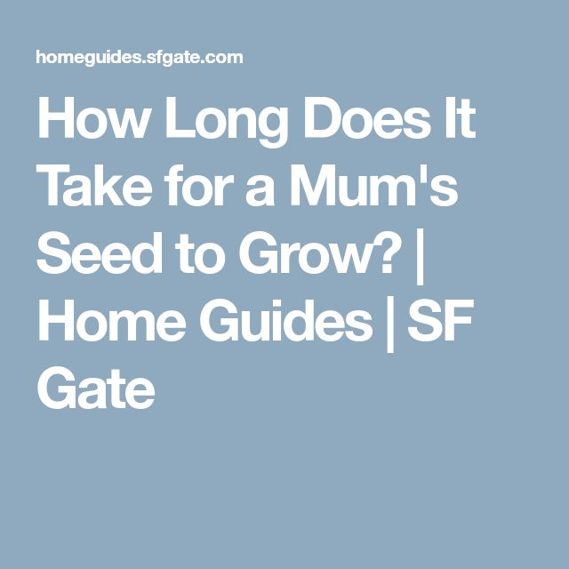 How Long Does It Take for a Mum's Seed to Grow? | Home Guides | SF Gate