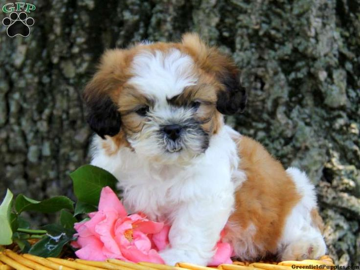 Twizzler, Shichon puppy for sale from Strasburg, PA - Greenfield Puppies
