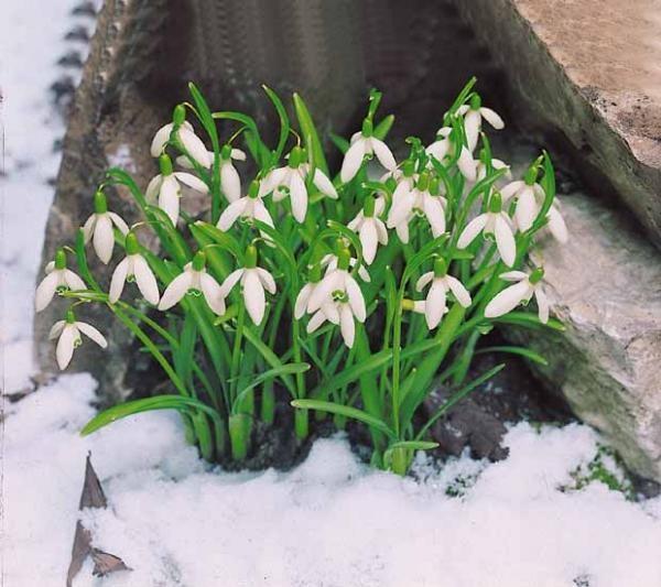 fleur perce neige elle brave les grands froids et fleurit en janvier f vrier gardening. Black Bedroom Furniture Sets. Home Design Ideas
