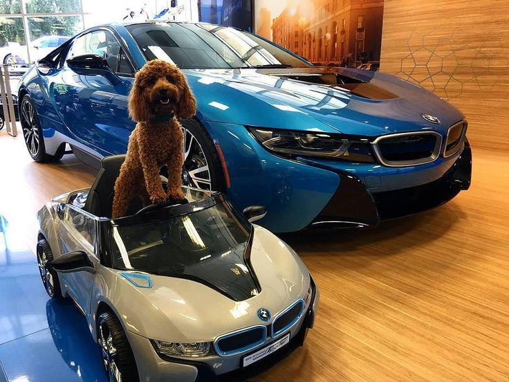Two cuties to pay special attention to today. #BMWi8.  @bobsmithbmw  #BMWi #BMWirepost #dogday #nationaldogday #cardog #dogincharge  __________  BMW i8 plug-in hybrid BMW eDrive: energy consumption (combined): 11,9 kWh/100 km Fuel consumption (combined): 2,1 l/100 km, CO2 emissions (combined): 49 g/km. Fuel consumption is determined in accordance with the ECE driving cycle (93/116/EC), made up of approximately one-third urban traffic and two-thirds extra-urban driving (based on the distance…