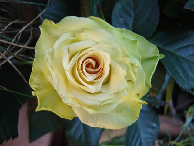 Rosa 'Honora' di Poulsen http://lefotodiluisella.blogspot.it/