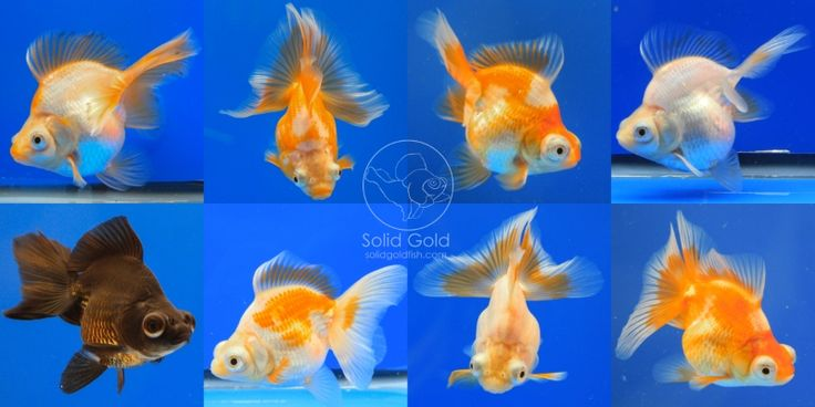 Butterfly telescope goldfish for sale from solid gold for Koi goldfish for sale