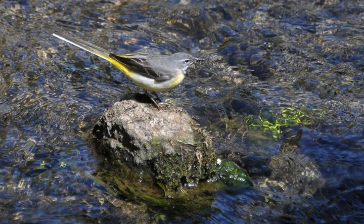 Grey Wagtail | Cheddar Gorge, Somerset.