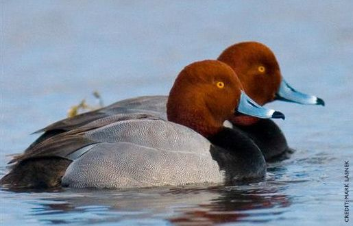 Redhead (Aythya americana) is a medium-sized diving duck.  The adult male has a blue bill, a red head and neck, a black breast, and yellow eyes. The adult female has a brown head and body and a darker bluish bill with a black tip. The breeding habitat is marshes and prairie potholes in western N.A.
