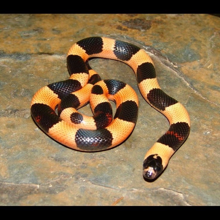 1000+ Images About Milk Snakes On Pinterest