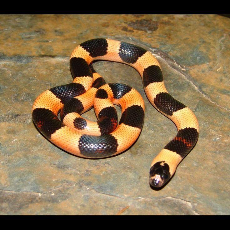 Apricot Pueblan Milk Snake - Halloween Phase (Lampropeltis triangulum campbelli) - Buy Apricot Pueblan Milk Snakes For Sale