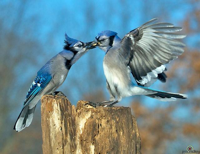 153 best blue jay blues images on pinterest beautiful birds