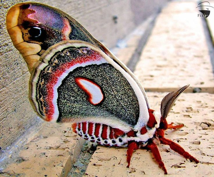 Cecropia moth. The photo is amazing but I should never ever see one of these in real life.