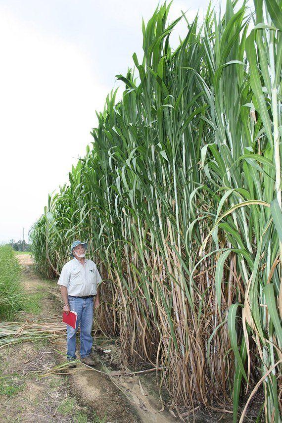 15 Worlds Tallest Grass Seeds 1329 Grass Seed Perennial Grasses