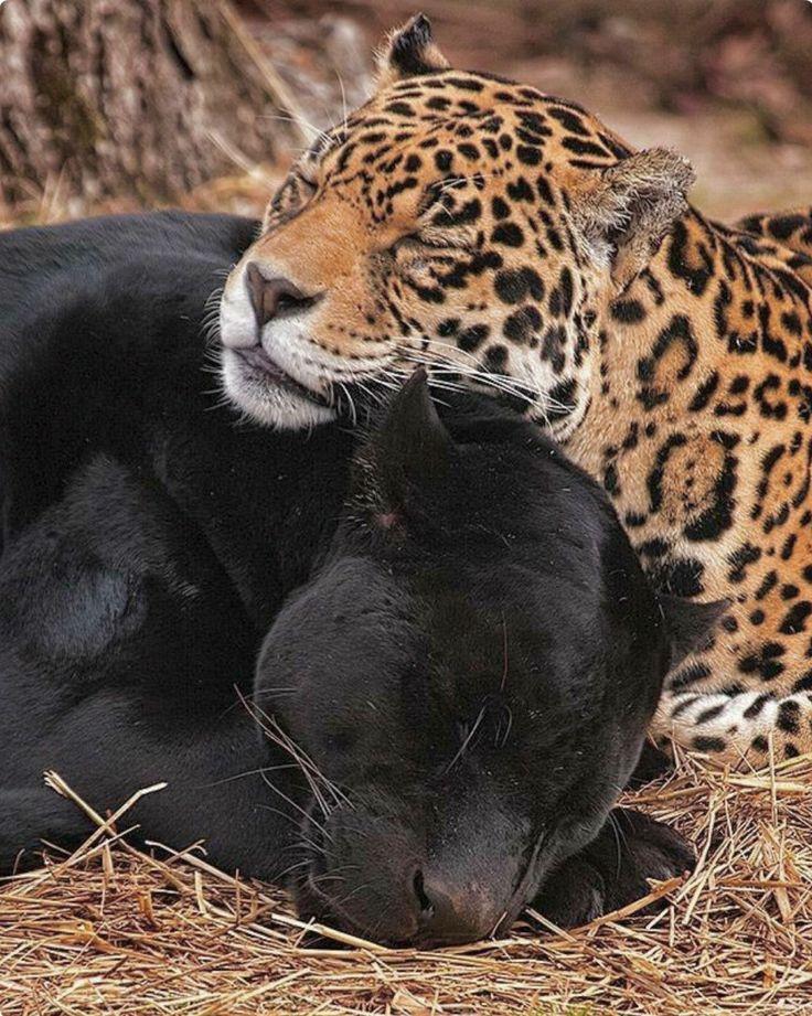 картинки пантера гепард