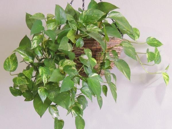 5 plantas de interior que ficam pendentes. Está pensando em decorar sua casa com plantas? Esta é uma excelente opção pois as plantas contribuem com cores vivas, assim como com calor aos espaços interiores, sem contar que muitas delas atuam pur...