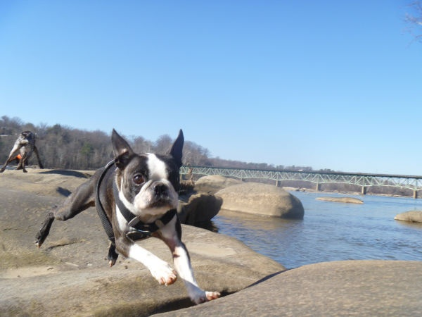 Stanley the boston coming in for a landing