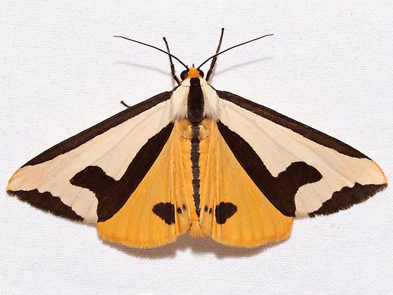 Clymene Moth Haploa clymene 4 - 5 cm